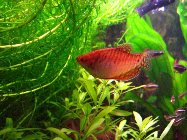 Zwerg-Fadenfisch